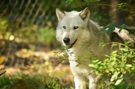WolfScienceCenter1410Ria_Yukon-02
