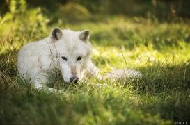 WolfScienceCenter1708Ria_Nanouk-03