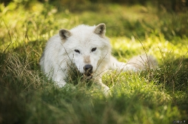 WolfScienceCenter1708Ria_Nanouk-04