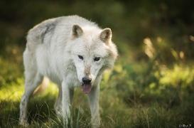 WolfScienceCenter1708Ria_Nanouk-05