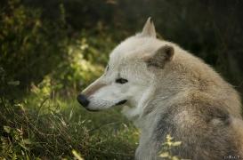 WolfScienceCenter1708Ria_Nanouk-06