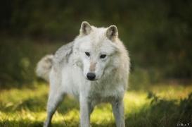 WolfScienceCenter1708Ria_Nanouk-07