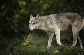 WolfScienceCenter1708Ria_Tala-01