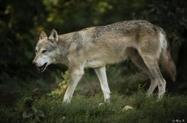 WolfScienceCenter1708Ria_Tala-02