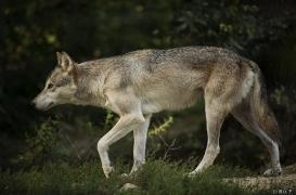 WolfScienceCenter1708Ria_Tala-03
