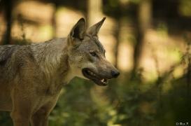 WolfScienceCenter1708Ria_Tekoa-01