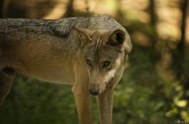 WolfScienceCenter1708Ria_Tekoa-02