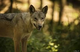 WolfScienceCenter1708Ria_Tekoa-03