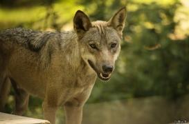 WolfScienceCenter1708Ria_Tekoa-04