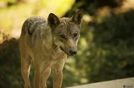 WolfScienceCenter1708Ria_Tekoa-05