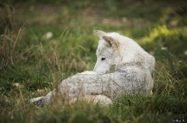 WolfScienceCenter1708Ria_Una-01