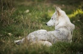 WolfScienceCenter1708Ria_Una-02