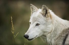 WolfScienceCenter1708Ria_Una-05