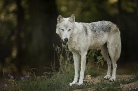 WolfScienceCenter1708Ria_Una-08
