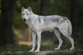 WolfScienceCenter1708Ria_Una-09
