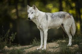 WolfScienceCenter1708Ria_Una-10