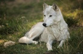WolfScienceCenter1708Ria_Una-13