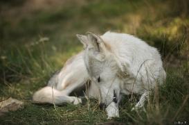 WolfScienceCenter1708Ria_Una-14