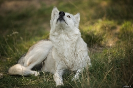 WolfScienceCenter1708Ria_Una-16