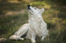 WolfScienceCenter1708Ria_Una-17