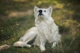 WolfScienceCenter1708Ria_Una-18