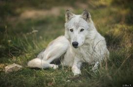WolfScienceCenter1708Ria_Una-21