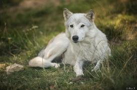 WolfScienceCenter1708Ria_Una-22
