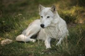 WolfScienceCenter1708Ria_Una-23
