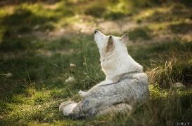 WolfScienceCenter1708Ria_Una-27