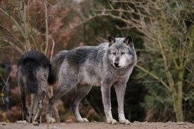 Hannover1612LinaT_Wolf-106