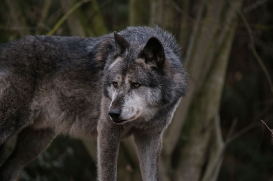 Hannover1612LinaT_Wolf-170