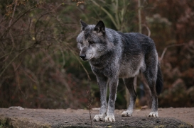 Hannover1612LinaT_Wolf-178