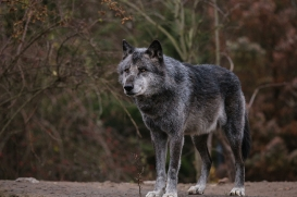 Hannover1612LinaT_Wolf-179