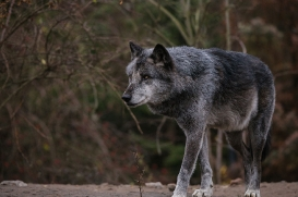 Hannover1612LinaT_Wolf-180