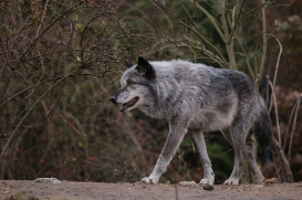 Hannover1612LinaT_Wolf-182