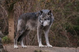 Hannover1612LinaT_Wolf-192